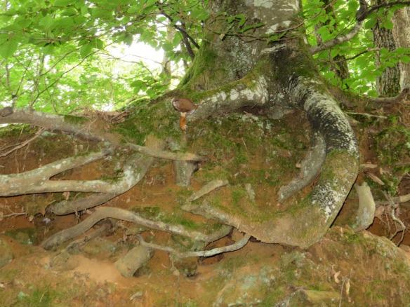 treerootG